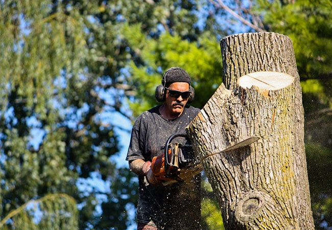 man sawing a tree